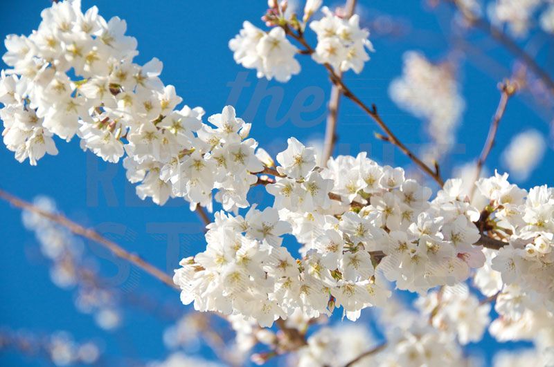 Cherry-Blossoms-in-Spring